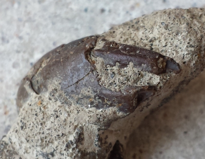 Ghost Shrimp (Mesostylus mortoni) pincer in matrix