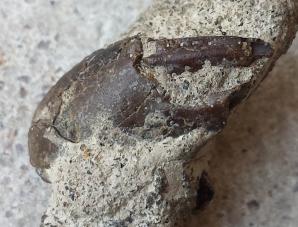 Crustacean pincer in matrix