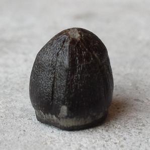 Globidens alabamaensis