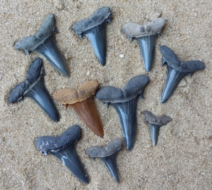 Scapanorhyncus texanus lateral teeth