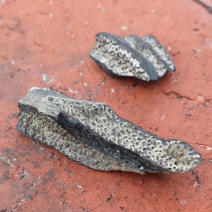Ischyodus bifurcatus jaw plates