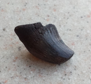 Mosasaur tooth that my Mom found