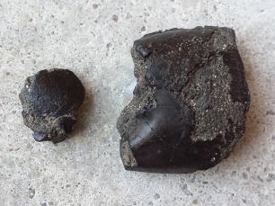 Ghost Shrimp (Mesostylus mortoni) broken pincer (right)