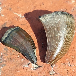 Mosasaur teeth