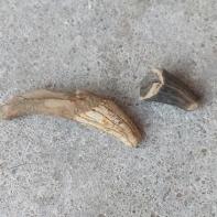 Odontocete (primitive whale) teeth