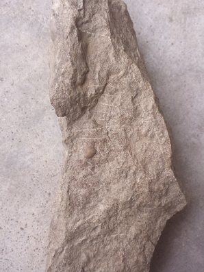 Archimedes fossil