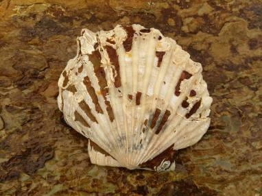Chesapecten. This one had both valves attached!