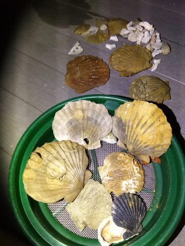 MORE Chesapecten!