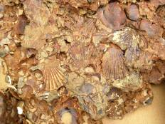 A whole BED of Chesapecten!