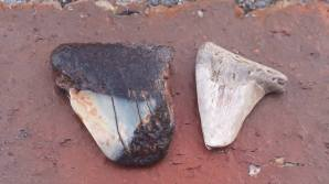 Megalodon fragments