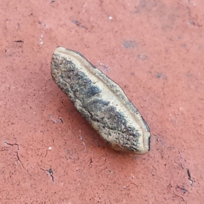 Heterodontus rugosus showing the root (9 mm)